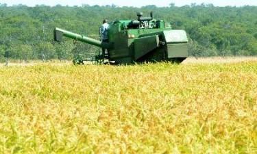 Angola produz 11,7 mil toneladas de arroz