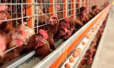 Cerca de 70% dos avicultores falidos