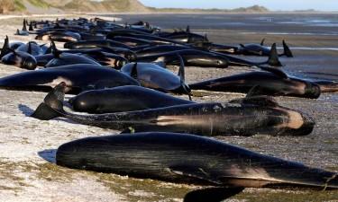 Nove baleias-piloto morreram encalhadas