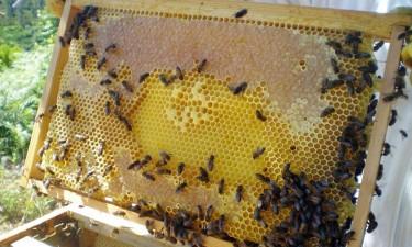 Exterminação de abelhas e queimadas escasseiam mel