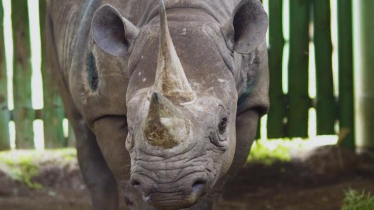 Morreu Fausta, a rinoceronte negra mais velha do mundo