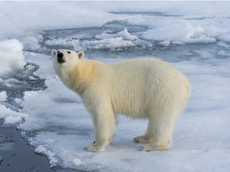 Em 25 anos, Árctico pode ficar sem gelo