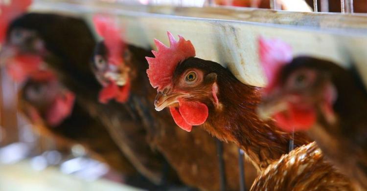 Avicultura 'rústica' em Malanje