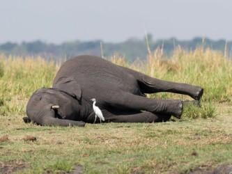 Centenas de elefantes mortos por novo vírus ou veneno