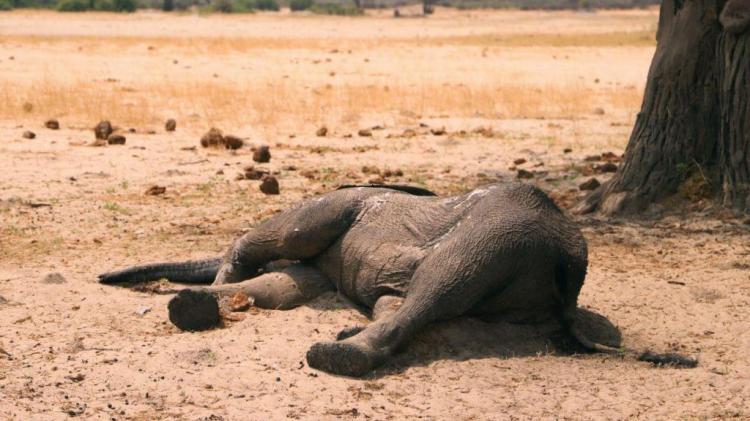 Uma cianobactéria foi a causa da morte de 300 elefantes