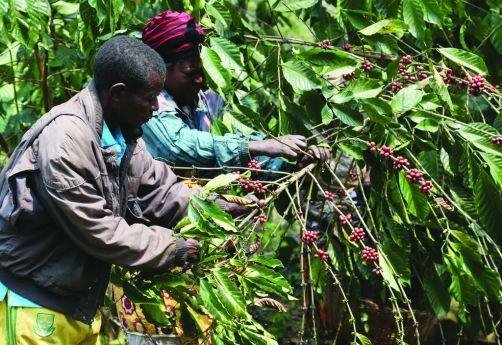 Angola exportou mais de um milhão de toneladas de café