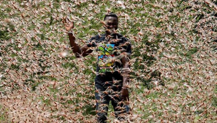 Praga de gafanhotos devasta alimentos para quase 2.500 pessoas