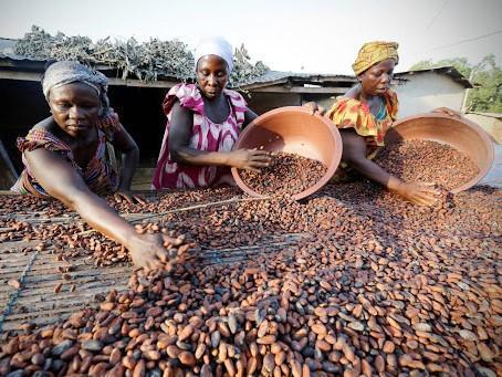 Produção de cacau em Cabinda à espera de 'sinal verde' da Agricultura